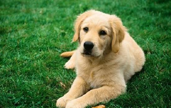 Maxi Puppy Active : Croquettes Chien | Royal